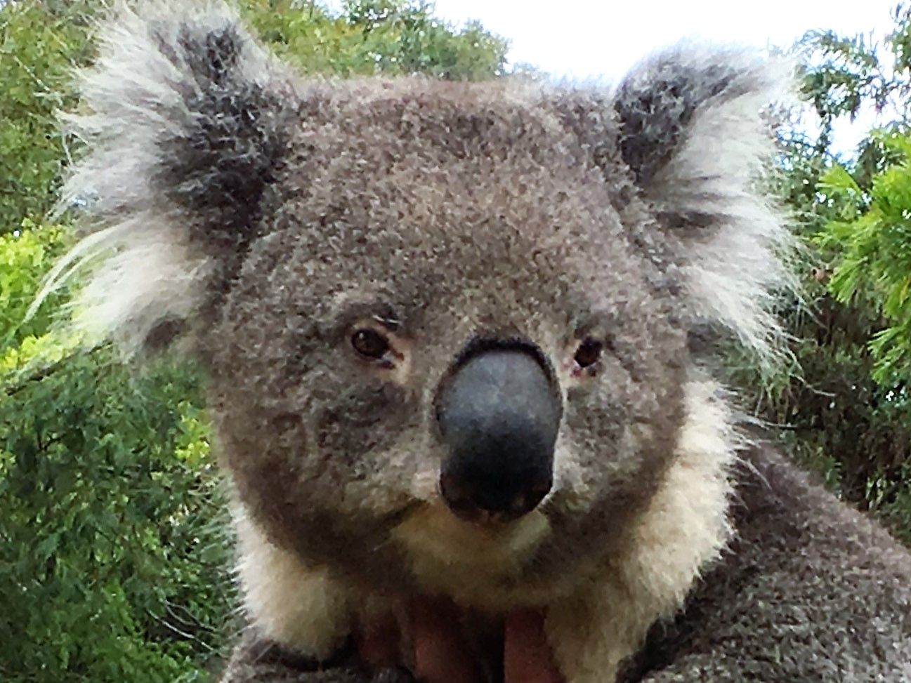 Koala in an Australian Wildlife Sanctuary