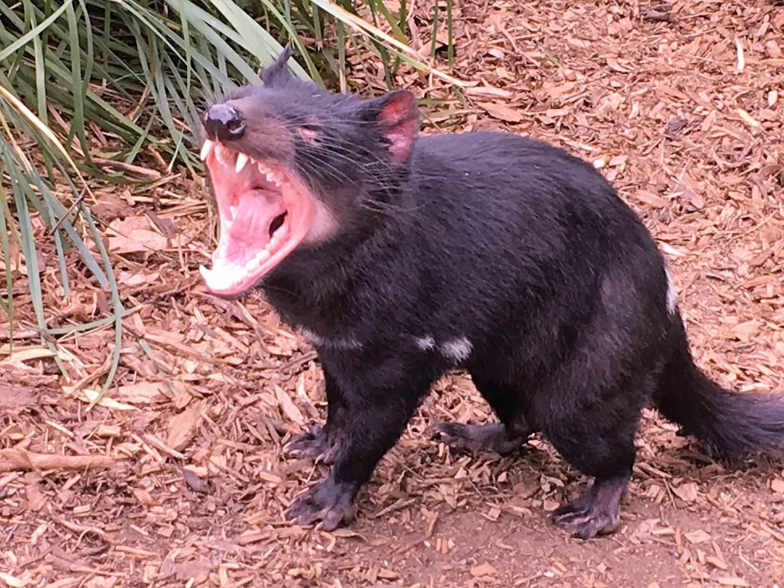 Discover Tasmania: Devil in Tasmania, discover Tasmania