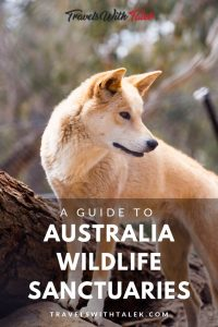A Wild Dingo at an Australian Wildlife Sanctuary