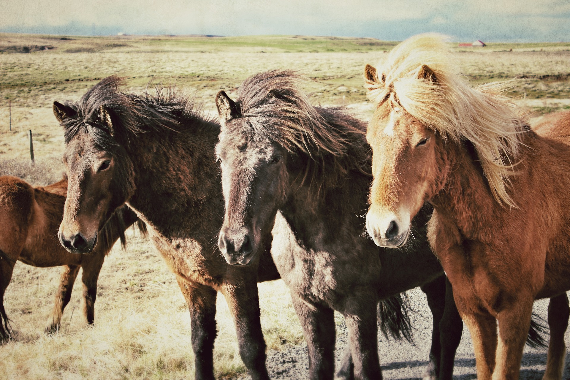 Horses of Iceland - One of the Highlights of Iceland