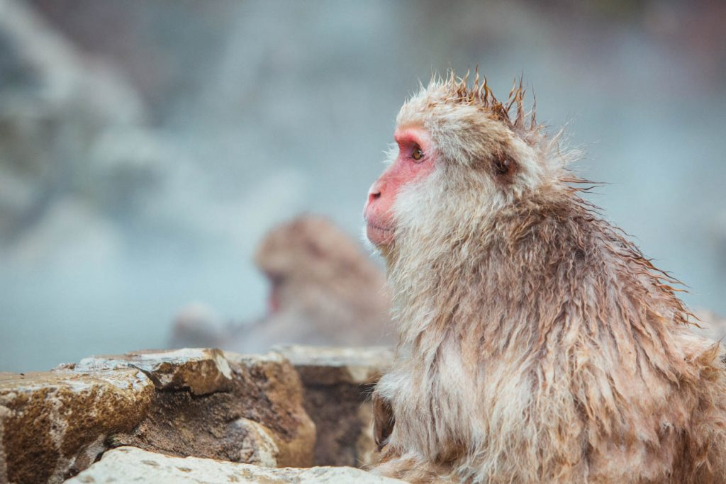Cool Things About Japan - Japanese Snow Monkeys