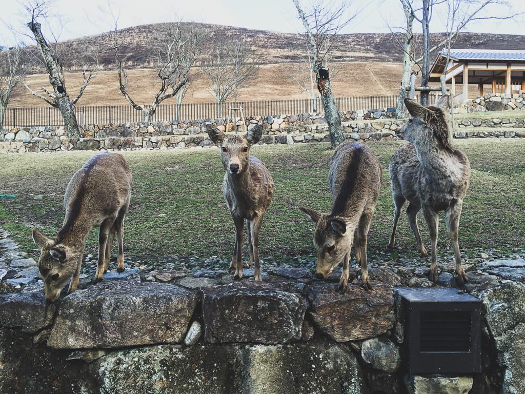 Things Japan Is Famous For - Nara Deer Park