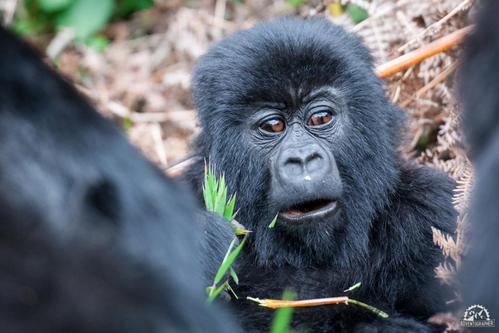 Wildlife Adventures with Silverback Gorillas in Rwanda