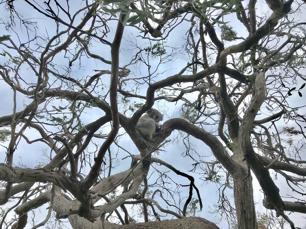 Best Places to See Wildlife - Australia, Koalas