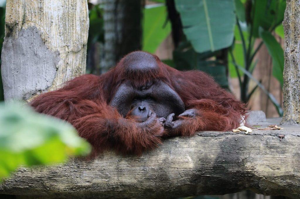 Orangutan. Best places to see wildlife in Asia