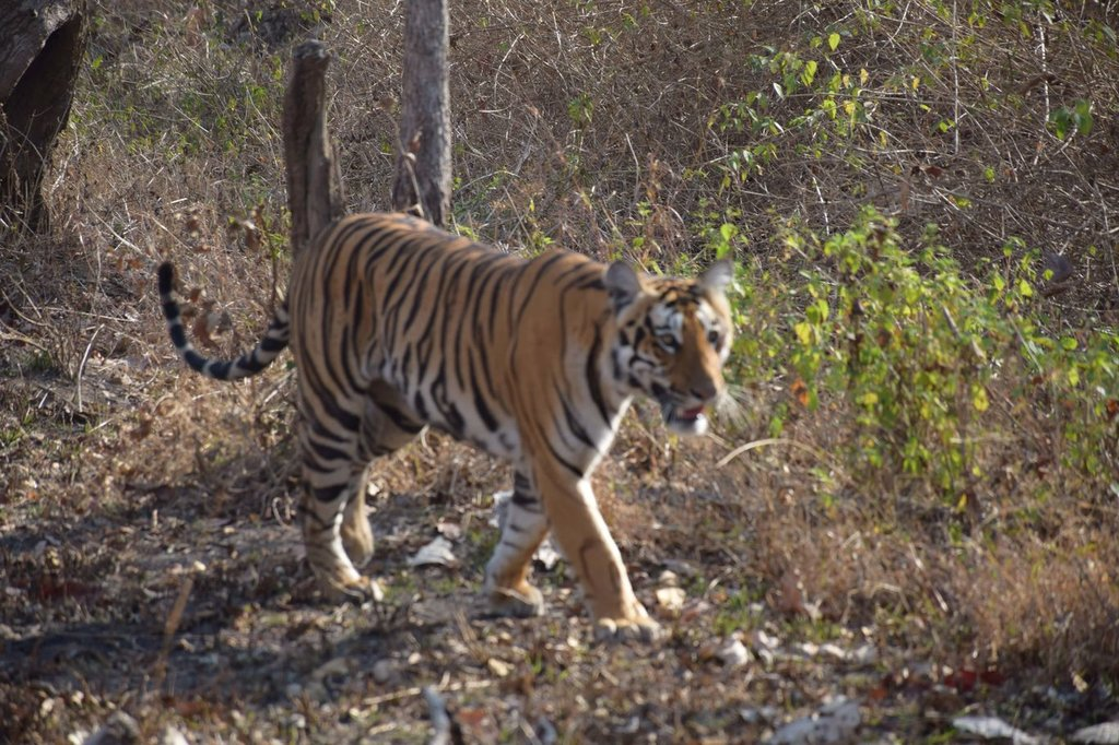Best Places to See Wildlife - Tigers in India