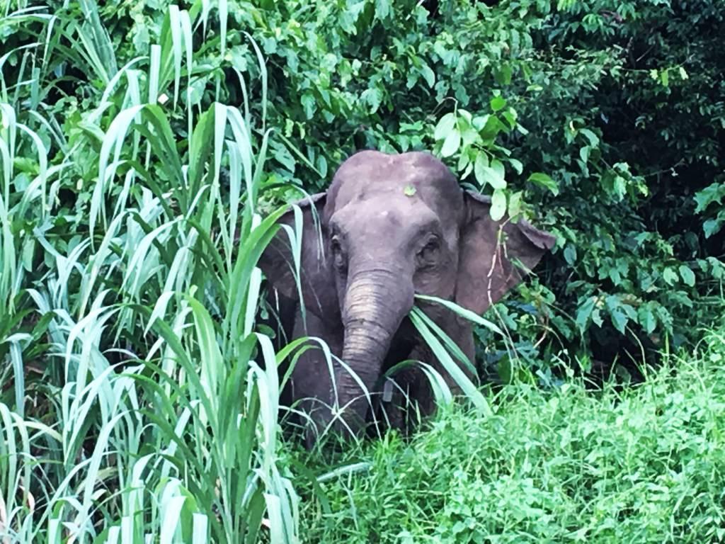 Best Places to See Wildlife - Borneo, Pygmy Elephant