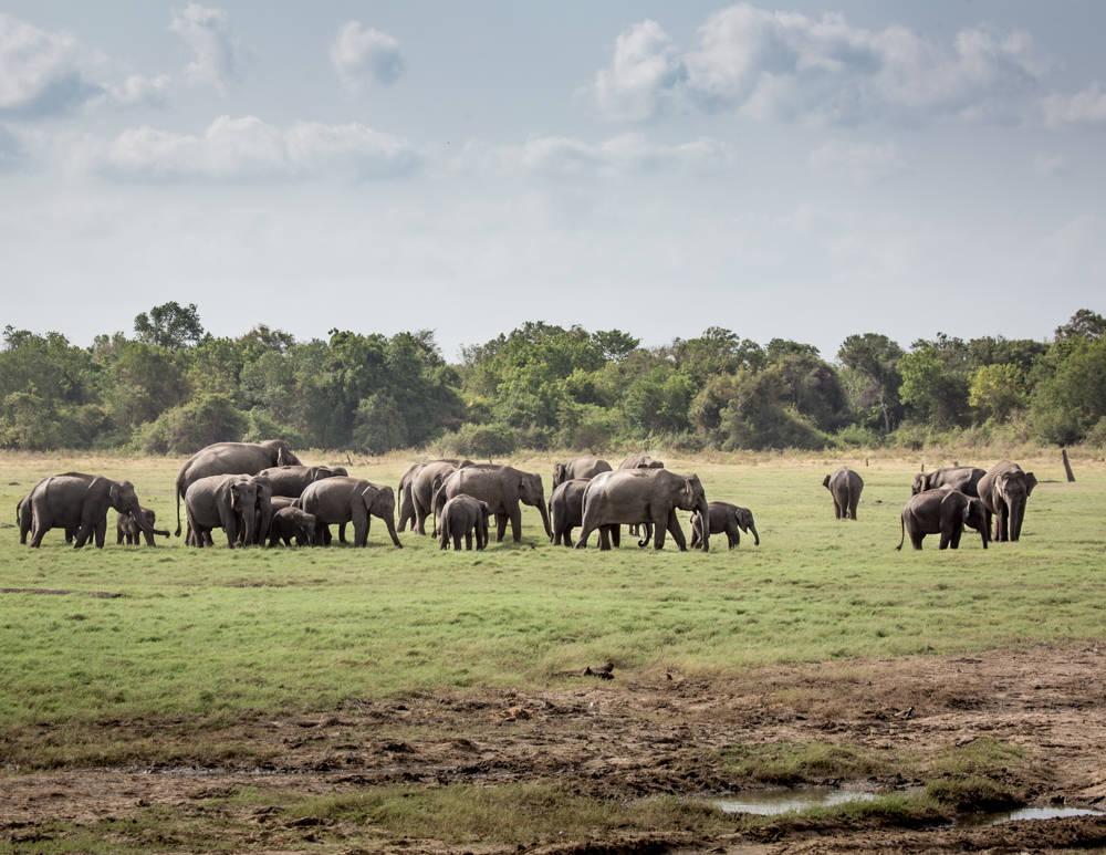 Best Places to See Wildlife - Sri Lanka, Elephants