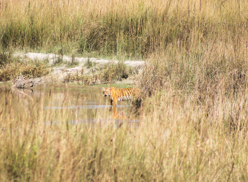 Best Places to See Wildlife - India, Bengal Tiger