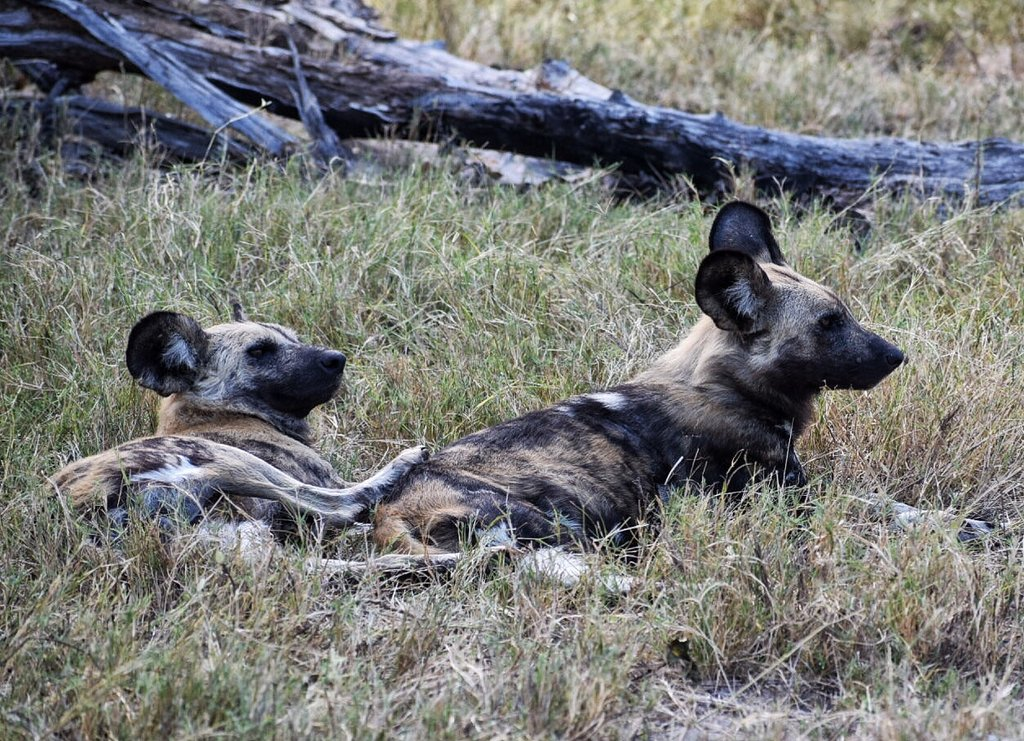 african safari animals list: Wild Dogs in Botswana