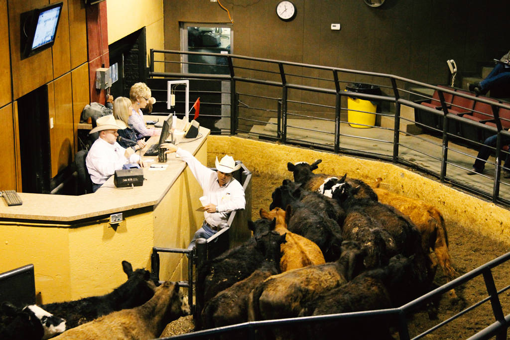 Unforgettable Things to Do in the USA - Cattle Auctions