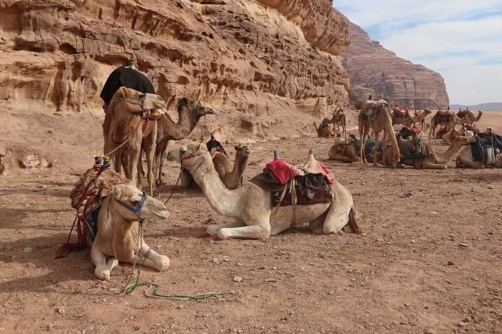 Camels in the Jordan desert, one of the best places to visit in Jordan