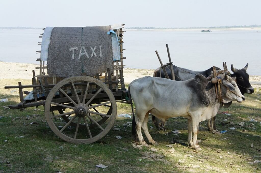 Oxen cart with taxi written on it