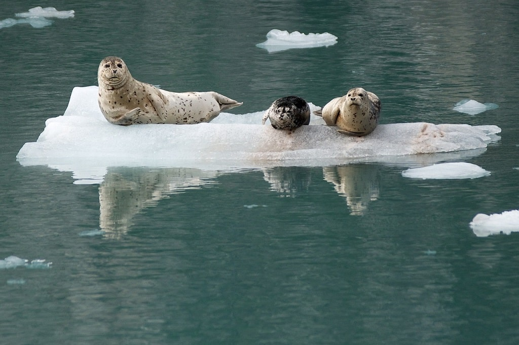 seals in Kenai National Park can be visited on a virtual museum tour