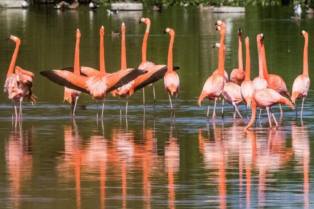 Flamingos in Cuban Nature Reserve
