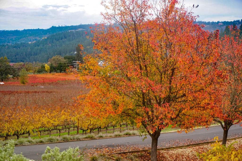 Autumn foliage in Napa Valley