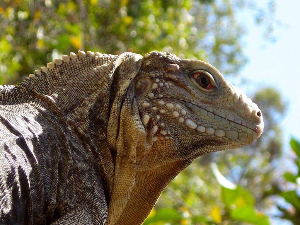 A Cuban Rock Lizard